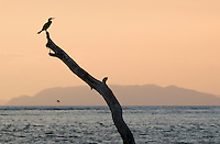 Olivaceous (Neotropical) cormorant, Phalacrocorax olivaceus, at sunset on the Tarcoles River, Costa Rica.