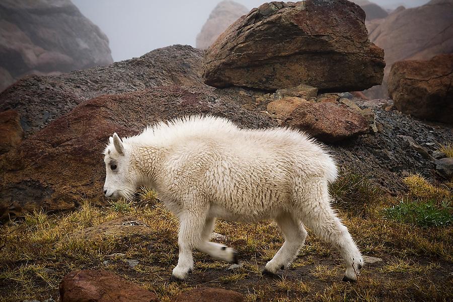 A young mountain goat (Oreamnos americanus) walks among the boulders above Ingalls Lake, Alpine Lakes Wilderness, Washington.
