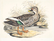 Indian spot-billed ducks (Anas poecilorhyncha). These large dabbling ducks are found throughout the freshwater wetlands of the Indian subcontinent. 18th century watercolor painting by Elizabeth Gwillim. Lady Elizabeth Symonds Gwillim (21 April 1763 – 21 December 1807) was an artist married to Sir Henry Gwillim, Puisne Judge at the Madras high court until 1808. Lady Gwillim painted a series of about 200 watercolours of Indian birds. Produced about 20 years before John James Audubon, her work has been acclaimed for its accuracy and natural postures as they were drawn from observations of the birds in life. She also painted fishes and flowers. McGill University Library and Archives