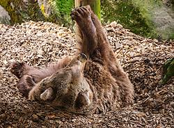 THEMENBILD - ein Braunbär (Ursus arctos) im Wildpark Ferleiten, aufgenommen am 29. April 2018 in Taxenbacher-Fusch, Österreich // a brown bear at the Wildlife Park, Taxenbacher-Fusch, Austria on 2018/04/29. EXPA Pictures © 2018, PhotoCredit: EXPA/ Stefanie Oberhauser