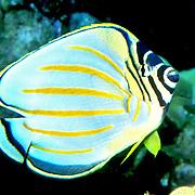 Ornate Butterflyfish inhabit reefs. Picture taken Hawaii.