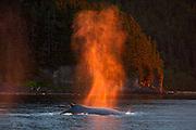 USA, Alaska, Chatham Strait, Humpback whale (Megaptera novaeangliae) blow at sunset
