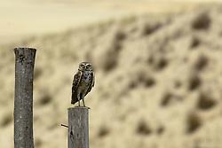 Uma coruja observa o movimento na praia da Ribanceira no municipio de Imbituba, SC. FOTO: Jefferson Bernardes / Preview.com