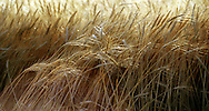 A 22.6 MG FILE FROM FILM OF:.a field with wheat ready for harvest in central Kansas. Photo by dennis brack