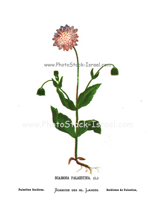 Palestine scabious (Scabiosa palaestina) From the book Wild flowers of the Holy Land: Fifty-Four Plates Printed In Colours, Drawn And Painted After Nature. by Mrs. Hannah Zeller, (Gobat); Tristram, H. B. (Henry Baker), and Edward Atkinson, Published in London by James Nisbet & Co 1876 on white background