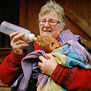 Smallholder, Sandie Davison, feeds a small piglet wrapped in a towel with a bottle of milk, Kilburn, North Yorkshire, UK.