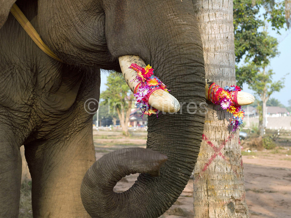 A male Asian elephant with decorated tusks ready for the procession at the Sayaboury Elephant Festival, Sayaboury province, Lao PDR. Originally created by ElefantAsia in 2007, the 3-day elephant festival takes place in February in the province of Sayaboury with over 80,000 local and international people coming together to experience the grand procession of decorated elephants. It is now organised by the provincial government of Sayaboury.The Elephant Festival is designed to draw the public's attention to the condition of the endangered elephant, whilst acknowledging and celebrating the ancestral tradition of elephant domestication and the way of life chosen by the mahout.