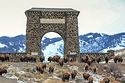 A herd of Bison (also known as buffalo) leaves Yellowstone National Park through the North Gate.