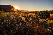 The sun sets behind a hill overlooking a field of cholla cacti in Abiquiu, New Mexico.