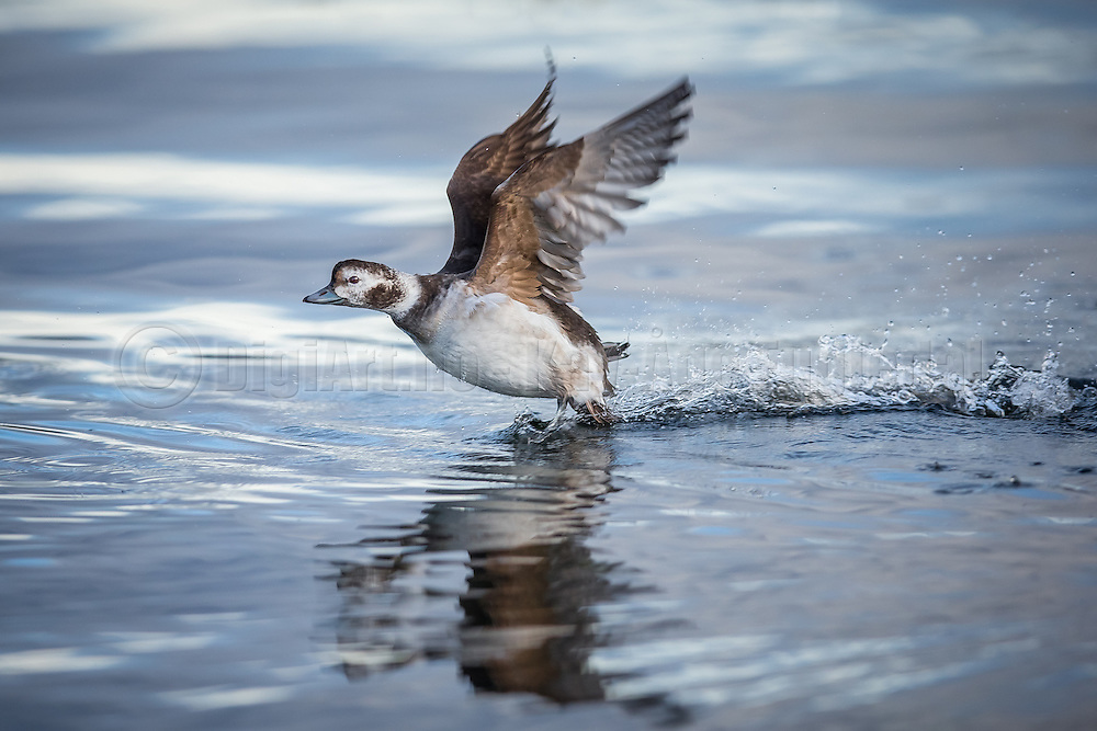 Escaping Long Tailed Duck | Havelle i flukt