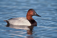 Canvasback - Aythya valisineria - Adult male