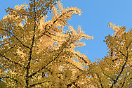 Yellow fall foliage on a Gingko tree (Gingko biloba) in the gardens at Queen Elizabeth Park in Vancouver, British Columbia, Canada