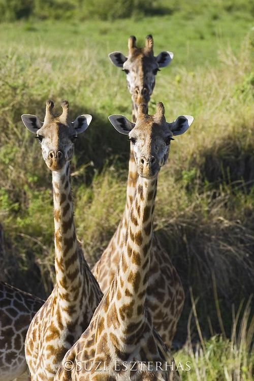Giraffe<br /> Giraffa camelopardalis<br /> Masai Mara Reserve, Kenya