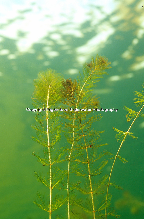 Eurasian Watermilfoil<br /> <br /> ENGBRETSON UNDERWATER PHOTO