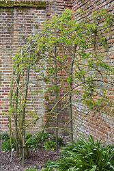 Pruned and trained rose at Sissinghurst Castle Garden