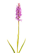 Field studio shot of Fragrant Orchid, Gymnadenia conopsea, growing in a meadow in Middleton Dale, Peak District