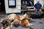 Man with five huge Leonberger dogs. The Leonberger is a very large breed of dog. The breed's name derives from the city of Leonberg in south-west Germany. According to legend, the Leonberger was ostensibly bred as a 'symbolic dog' that would mimic the lion in the town crest.