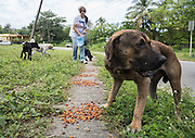 Yvette Fernandez, volunteer Beach Coordinator for The Sato Project, feeds a group of strays on Guayanes Beach, Puerto Rico.