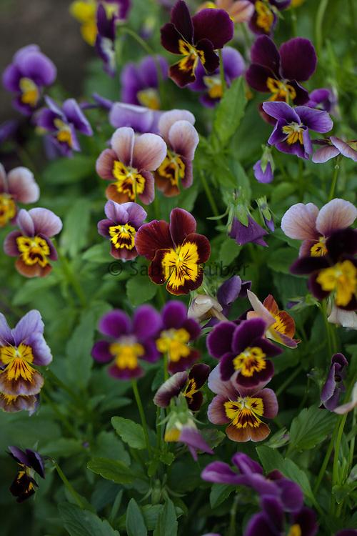 Viola cornuta - Historic Florist Pansies Mixed - horned pansy