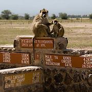 Yellow Baboon (Papio cynocephalus) grooming on sign posts in Amboseli National Park, Kenya