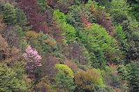 Trees blooming in spring hint at the incredible biodiversity that is found in Tangjiahe nature reserve, Sichuan province, China.