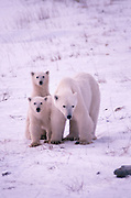 Canada. Manitoba. Cape Churchill. Polar bear, sow with cubs (Ursus maritimus).