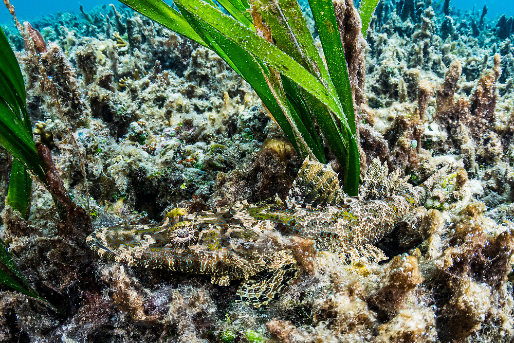 Juvenile crocodile fish (Cymbacephalus beauforti) has perfect camouflage for an ambush predator. Palau.