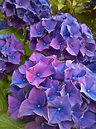 blue-purple hydrangea flowers