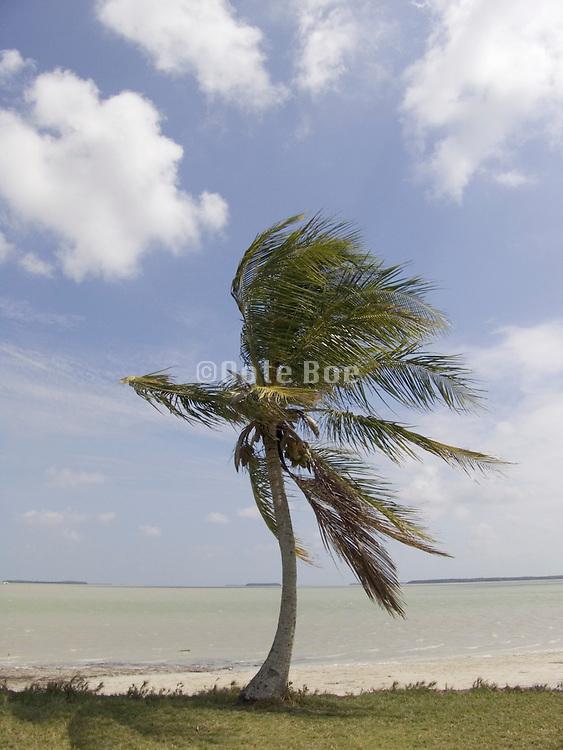 single palm at the edge of the sea Everglades Flamingo Florida