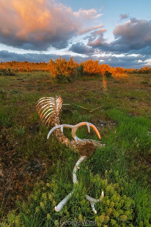 Ten Point Mule Deer Resting, BLM Lands, Modoc County, California