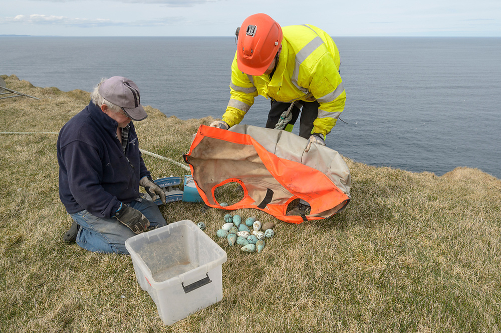 Jón Arnar Beck collecting seabird eggs. Skoruvíkurbjarg cliffs. Langanes Peninsula, Iceland.  Common Guillemot (Uria aalge) eggs.<br /> Fisherman Jón Arnar Beck is 38 years old and has been collecting seabird eggs for the past 8. Usually assisted by friend and fellow fisherman Sæmundur Einarsson, Jón may use modern safety harness and radio equipment but the method of collecting cliff-nesting seabird eggs hasn't changed much in a thousand years. The harvesting of seabirds has been continuous Icelandic tradition since early settlement and is mentioned in Norse Sagas. Although no longer necessary for survival, cultural ties to the harvesting of seabirds are strong and vigorously defended. <br /> The cliffs where Jón collects are divided into sectors which are allocated by the local authority in return for a number of eggs to be given to the community. Each sector is harvested 2 or 3 times as the eggs are laid before being left alone for the birds to hatch and raise the next clutch.