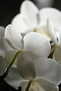 Light is diffused by the soft white petals of a blooming Phalaenopsis orchid.