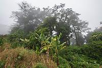 Mount Gorongoza mist-forest shrouded in thick mist with bananna plantations planted right along its edges, Gorongosa Mountain, Inhambane Province, Mozambique