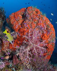 A fan sponge, Phakellia flabellata, soft coral, Dendronepthya sp., and bluestripe snapper, Lutjanus kasmira, add a striking splash of color to a steep drop-off.  Witu Islands, Kimbe Bay, Papua New Guinea, Pacific Ocean