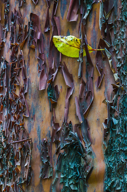 Pacific madrona bark and leaf (Arbutus menziesii), morning overcast, August, Olympic National Park, Clallam County, Olympic Peninsula, Washington, USA