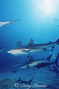 blacktip and Caribbean reef sharks, Carcharhinus limbatus, and Carcharhinus perezi, circle the chumsicle, Walker's Cay, Abaco Islands, Bahamas ( Western Atlantic Ocean )