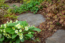 Stepping stone path with spreading woodland flowers including Primula vulgaris and epimediums