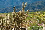 Cholla Cactus, lupine, and Desert Dandelion in the Anza-Borrego Desert