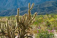 Cholla Cactus, lupine, and Desert Dandelion in the Anza-Borrego Desert