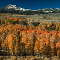 Orange aspen trees in autumn on Conway Summit, Mono County, California.