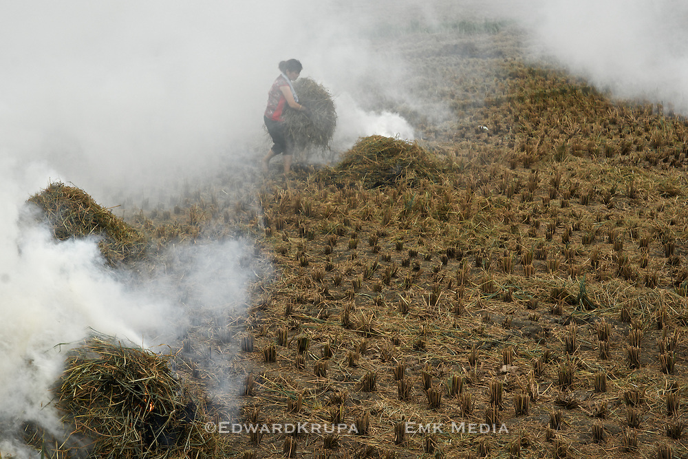 Woman cleaning up rice fields after harvest, outside of Wenzhou in Zhejiang, China.