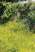Traditional flowering hedgerow wildlife habitat in summertime in Cornwall, Southern England, UK