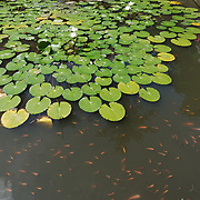 Small goldfish in a garden pond full of lily pads at Goa Gajah.  Uban, Indonesia.