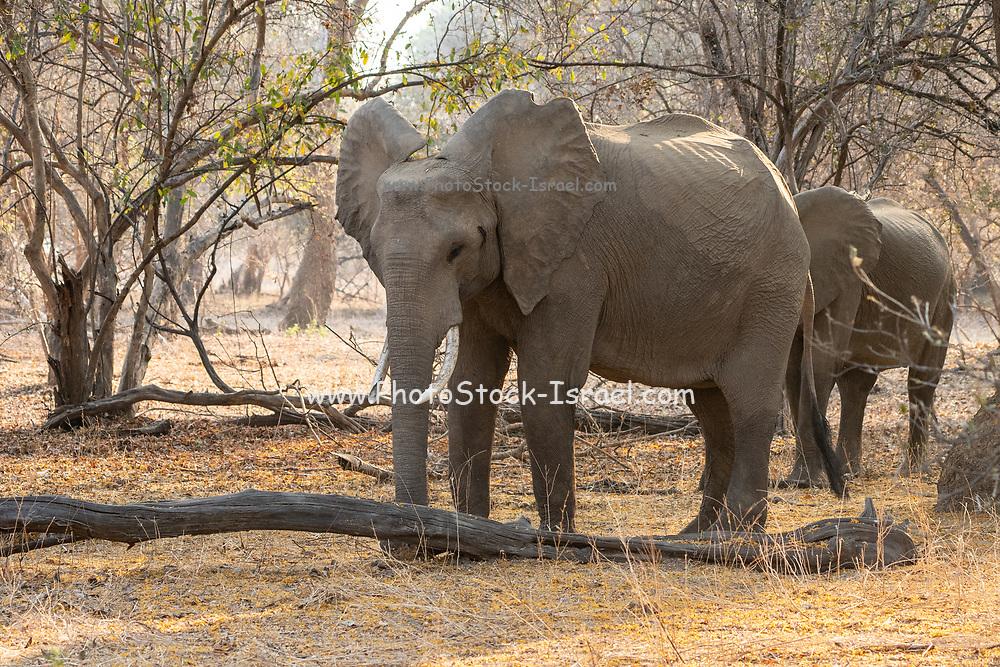 Two male African Bush Elephants. Photographed at Lake Kariba, Zimbabwe