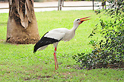 Israel, Coastal plains, White Stork (Ciconia ciconia) on the ground A marking ring can be seem on the leg