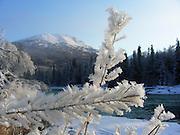 Alaska, upper Kenai River. Hoar frost covering plants and trees.