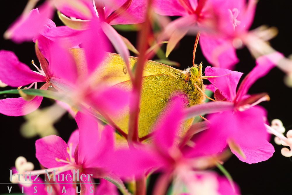 Moth hiding in fireweed