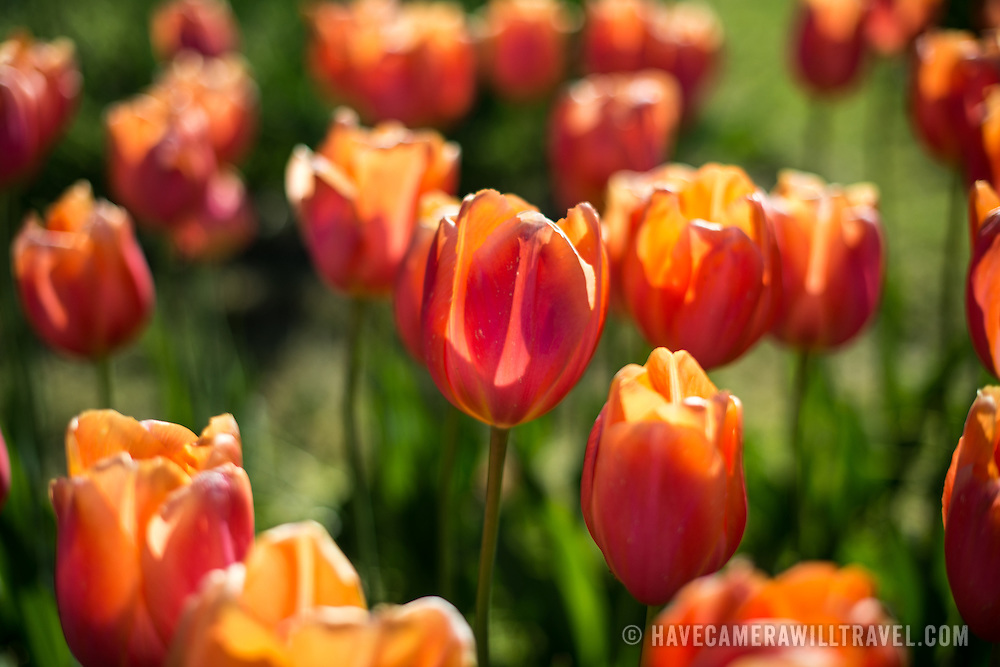 Orange tulips in full bloom at the Netherlands Carillon next to Arlington National Cemetery and the Iwo Jima Memorial. First donated in 1954, the Carillon was moved to its current location in 1960. It was a gift of the Netherlands to the United States in thanks for US aid during World War II.