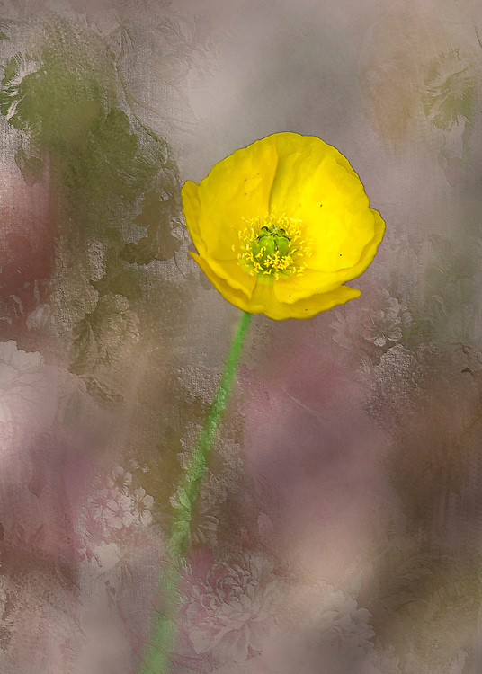 A yellow buttercup flower from the garden over textured pastel