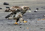 Alaska. Second year Bald Eagle (Haliaeetus leucocephalus) walking on the beach at the Homer Spit, Homer.
